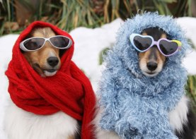 dogs_snow_sunglasses
